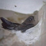 【燕窝是怎么来的】为什么不能过于频繁参观燕屋?是否对燕子有影响?