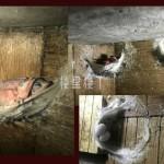 【燕屋收成】小燕子孵化成功后继续留在自家燕屋里的概率有多大?